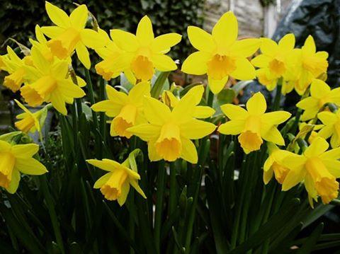 Daffodil day ?daffodils day friday support followforfollow follow4follow follow4likes like4likeshellip
